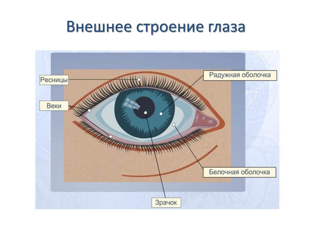 Особенности строения глазниц и век